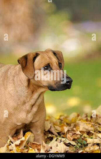 Mixed-breed Rhodesian Ridgeback in a pile of leaves - Stock Image