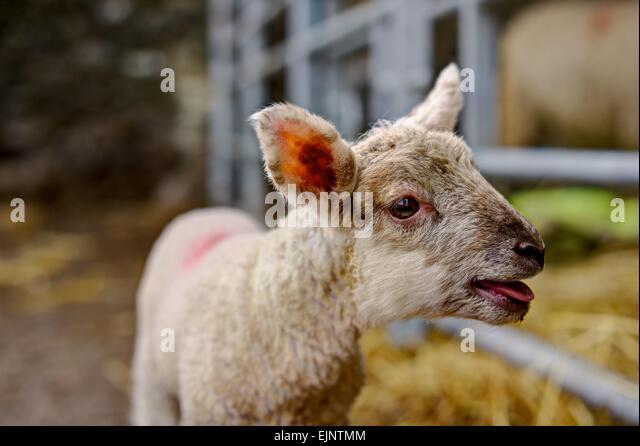 A young lamb rendered sharply bleating for her mother in a mothering up pen against the blurred background of inside - Stock Image