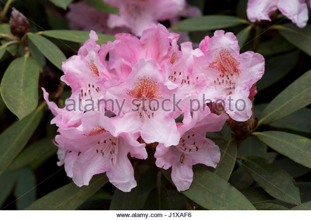 RHODODENDRON 'BASHFUL' - Stock Image