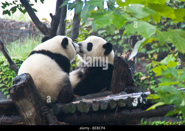 Kissing giant pandas at Chengdu Panda Breeding and Research Center in Sichuan - Stock Image