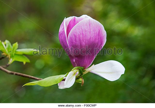 Magnolia soulangeana - Stock Image