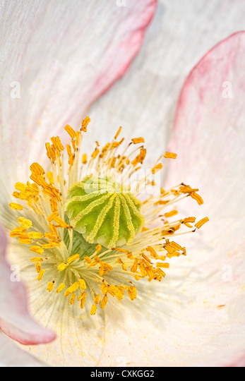 White Icelandic Poppy Flower - Stock Image