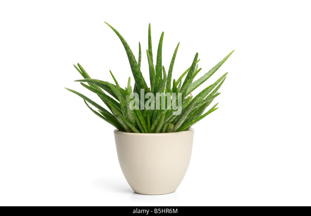 Aloe vera plant in pot stock photos aloe vera plant in pot stock images alamy - Aloe vera en pot ...