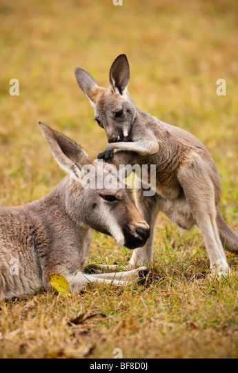 Young baby joey kangaroo playing with moms ears. - Stock Image