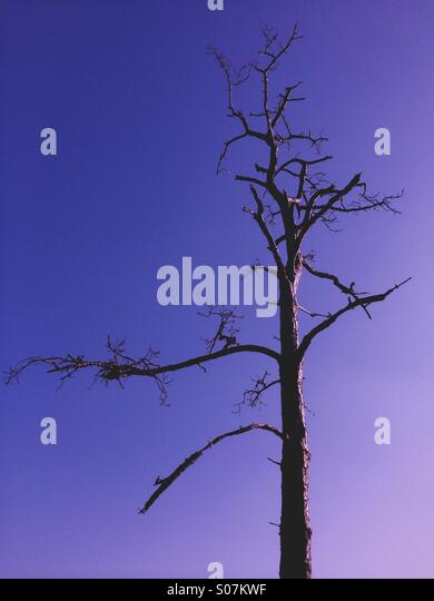 A dead tree against a blue sky at dusk. - Stock Image