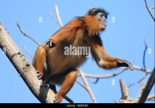 Adult Western Red Colobus (Piliocolobus badius) leaping from a tree in Bijilo Forest, The Gambia, West Africa. April - Stock-Bilder
