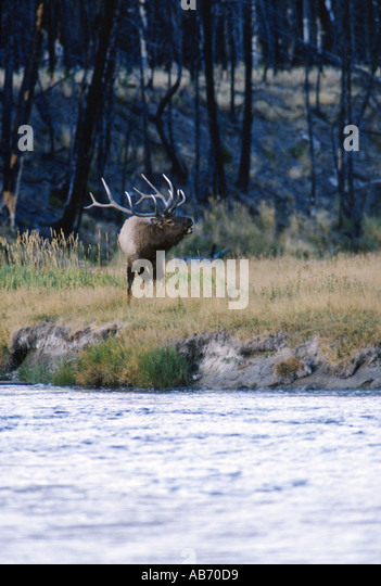 A 6x6 12 point bull elk or wapiti bugles during fall rut Yellowstone National Park Wyoming COPYRIGHT DUANE BURLESON - Stock Image