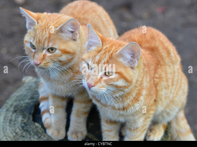 Two red kittens in my backyard - Stock Image
