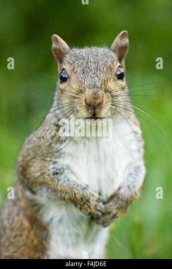 America american animal portrait color image eastern grey squirrel gray North America North Carolina red squirrel - Stock-Bilder