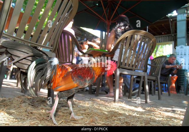 Florida Key West Florida Keys Bahamas Village Petronia Street Blue Heaven restaurant rooster loose - Stock Image