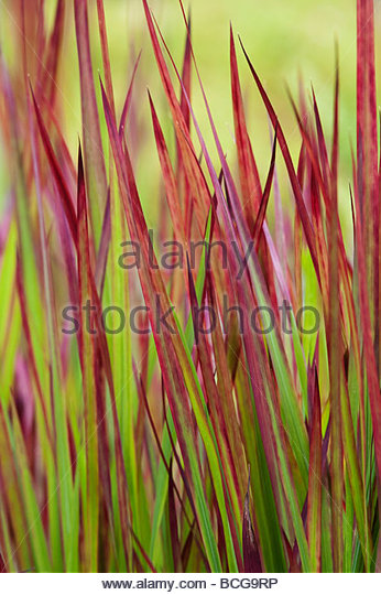 Imperata cylindrica rubra 'blood grass' - Stock Image
