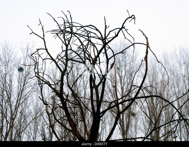 Dead tree silhouetted against line of Poplar trees - France. - Stock Image