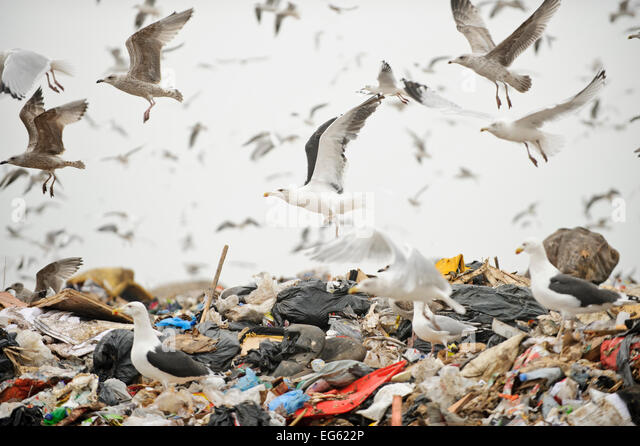 Lesser black-backed gulls (Larus fuscus), Herring gulls (Larus argentatus), Black-headed gulls (Larus ridibundus) - Stock-Bilder