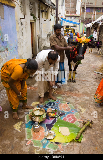 harvest festival pongal Pongal (harvest festival) 14 jan to 17 jan pongal is a traditional indian harvest festival that charms with its colourful intimations of an age gone by.