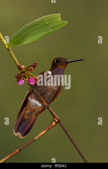 Brown Inca hummingbird (Coeligena wilsoni) perched on a branch in the Tandayapa Valley of Ecuador. - Stock Image