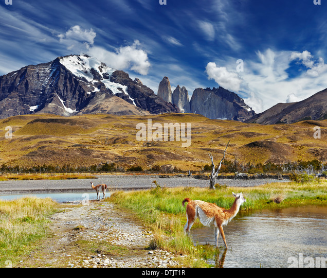 Guanaco in Torres del Paine National Park, Patagonia, Chile - Stock Image
