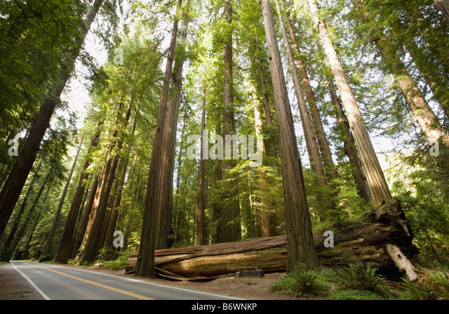 Avenue of the giants - Stock Image