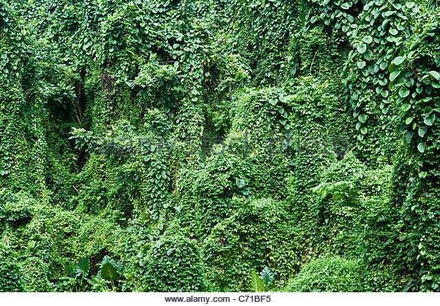 Creeper vine and jungle, Rarotonga, Cook Islands. - Stock-Bilder