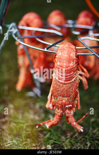 Crayfish Cooling after being boiled - Stock Image