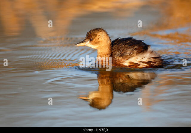 Little Grebe (Tachybaptus ruficollis) in water, plumage, Middle Elbe Biosphere Reserve, Saxony-Anhalt, Germany - Stock Image