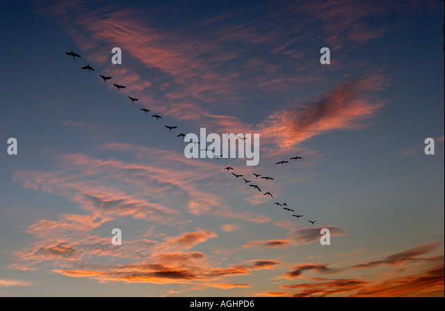 Migrating geese in autumn - Radley Oxfordshire 3 - Stock-Bilder