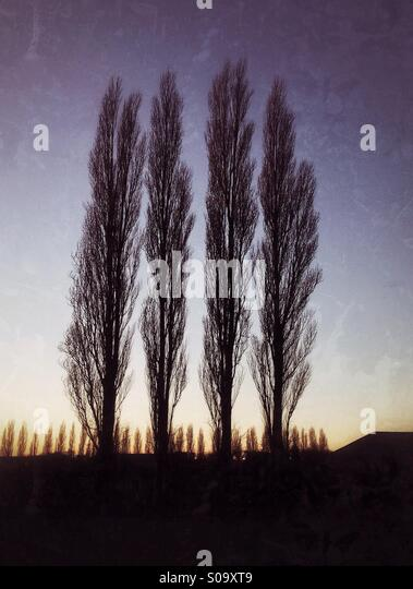 Four Poplar trees  seen against a winter sunset. - Stock Image