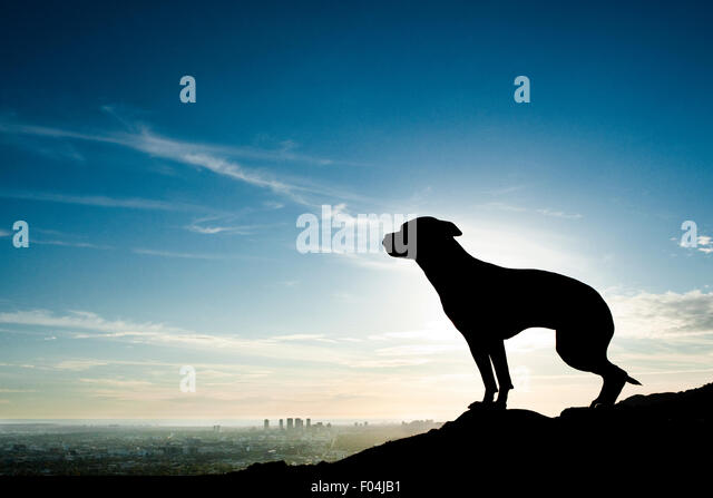 Amazing silhouette of an adult athletic short haired dog against a gorgeous sunset with a city scape in the far - Stock Image