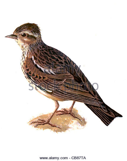 Woodlark bird species Series Songbird - Stock-Bilder