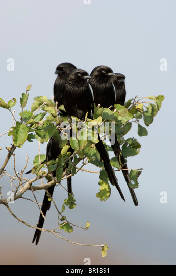 Magpie (long-tailed) shrike (Corvinella melanoleuca), Serengeti National Park, Tanzania - Stock-Bilder