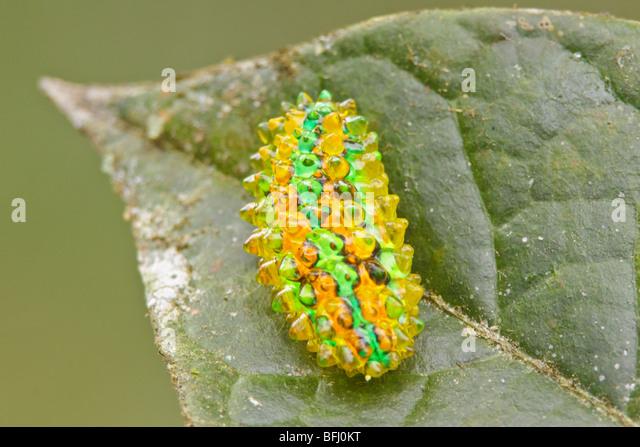 A Caterpillar in Podocarpus national Park in southeast Ecuador. - Stock Image