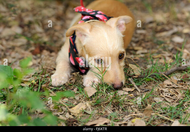 Shy Dog is a cute puppy outdoors hiding behind a blade of grass looking very cute and shy. - Stock Image