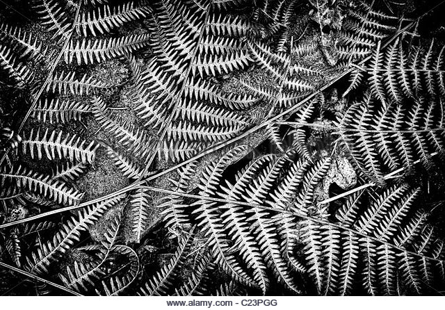 Dead Bracken fern pattern in an English woodland. Monochrome - Stock Image