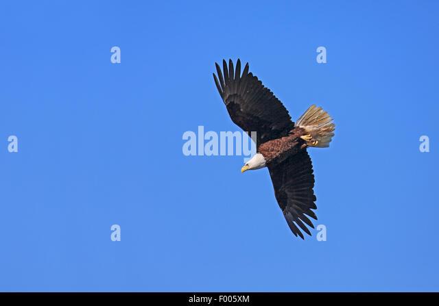 American bald eagle (Haliaeetus leucocephalus), flying at the blue sky, Canada, Vancouver Island - Stock Image