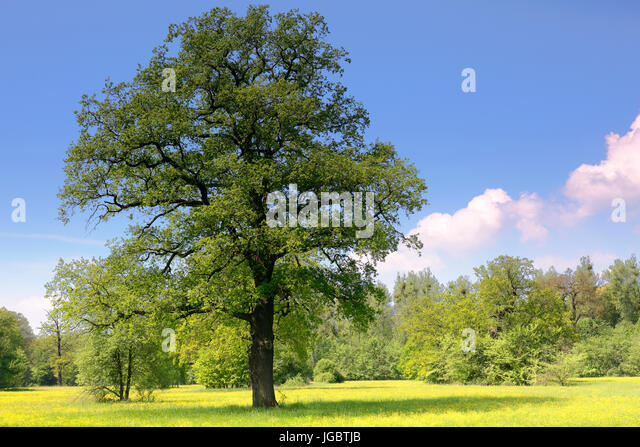 Oak tree (Quercus) in spring, Elbaue, biosphere reserve Middle Elbe, Saxony-Anhalt, Germany - Stock Image