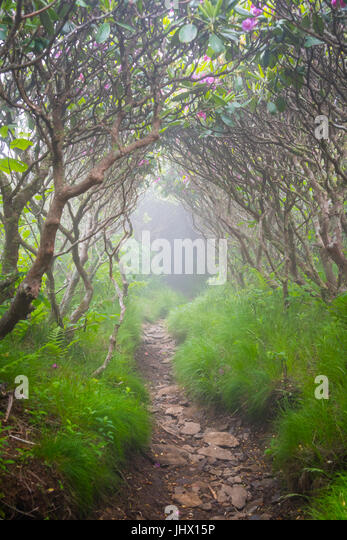Foggy Tunnel of Rhododendron Bushes in Blue Ridge mountains - Stock Image