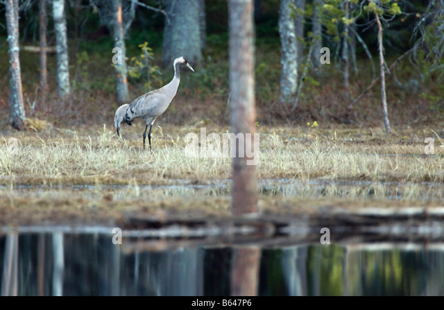 Finland, Kuikka Lake, near Kuhmo. Arcticmedia. Centre for tourism and wildlife photography, Common crane ( Grus - Stock-Bilder