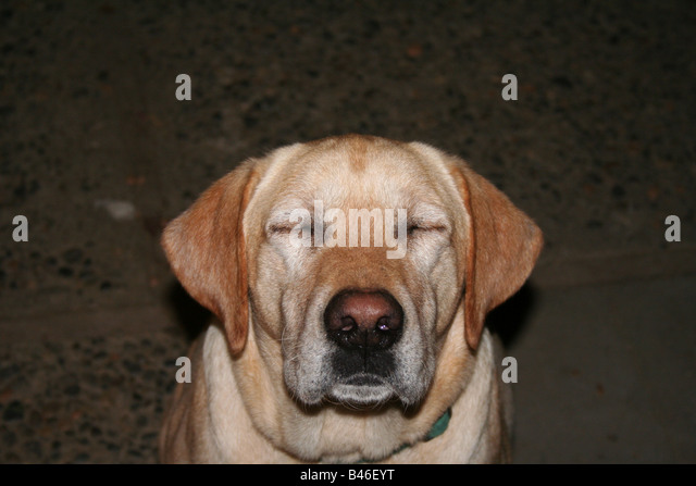 yellow labrador dog with eyes closed - Stock Image