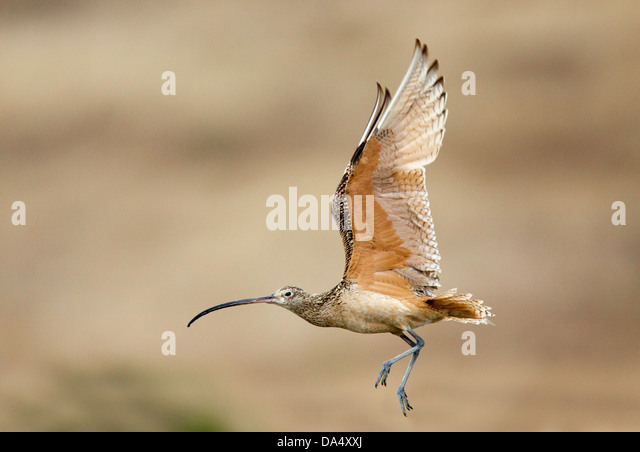 Long-billed Curlew Numenius americanus Moss Landing, California, United States 24 June Adult in flight. Scolopacidae - Stock Image