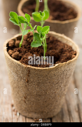 Plants growing in biodegradable plant pots - Stock Image