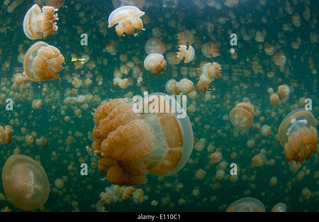 Golden Jellyfish near the surface in Jellyfish lake Palau (Mastigias) - Stock-Bilder