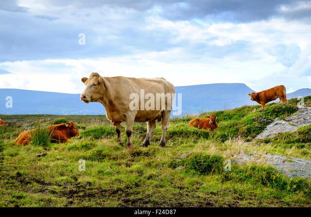 jersey cow cattle calf calves ireland uk - Stock Image