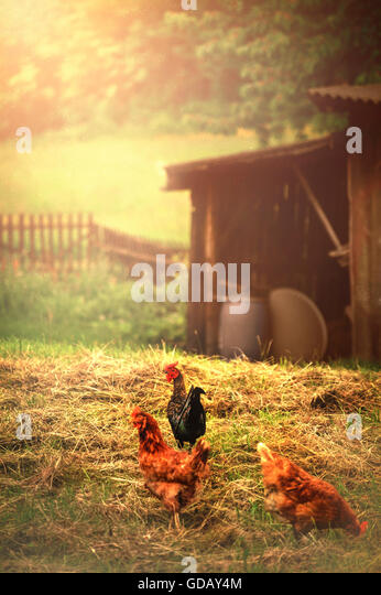 three hens in a village - Stock Image