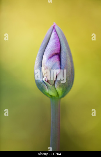 Tulip, Tulipa 'Queen of Night', Purple flower bud opening. - Stock Image