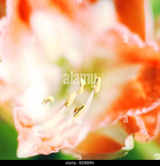 amaryllis fine art photography Jane Ann Butler Photography JABP267 - Stock Image