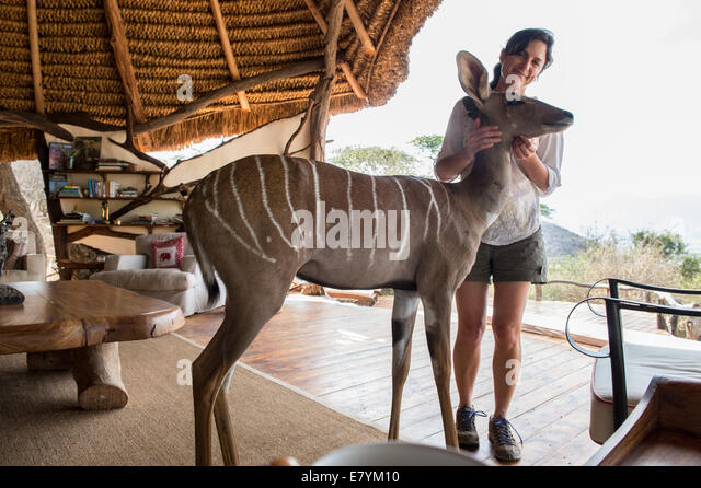 Sesia, the rescued Kudu walks around at the Sarara Camp lodge in Northern Kenya.   (Photo by Ami Vitale) - Stock Image