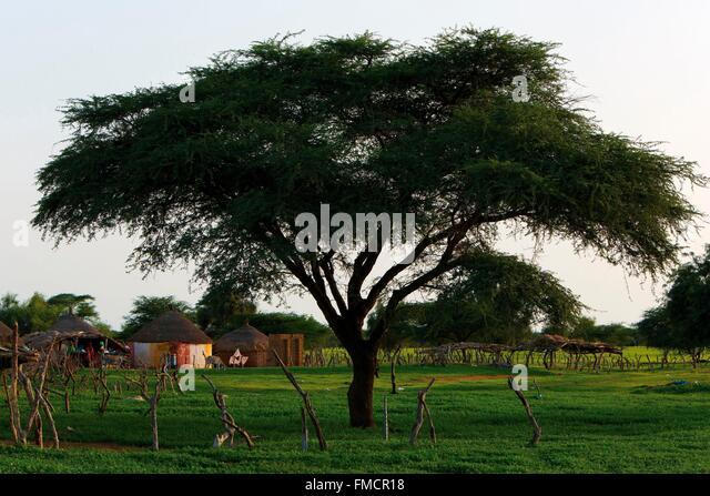 Senegal, Sahel, Ferlo region, Widou Thiengoly, aegyptiaca - Stock Image