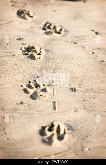 German Shepherd pawprints - Stock Image