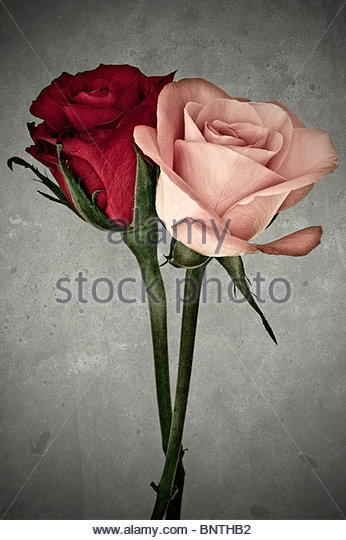 Two contrasting roses pink and red entwined - Stock Image