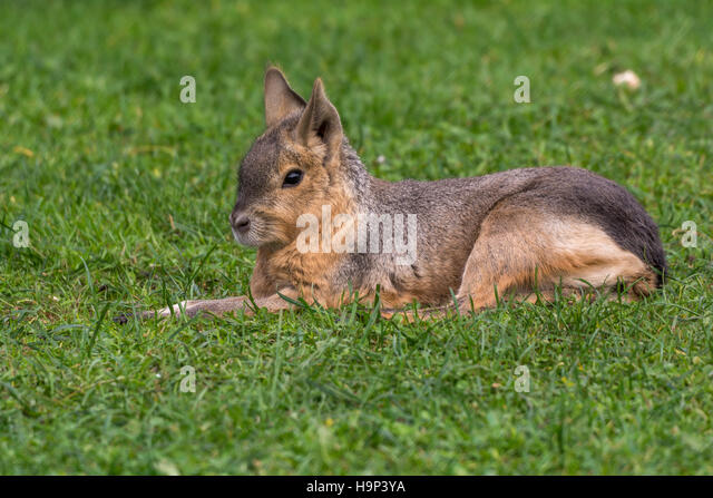 Cavy Alone - Stock Image