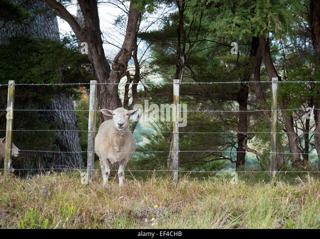 Single sheep looking through a wire boundary fence - Stock Image